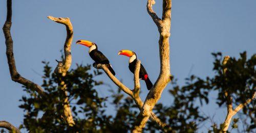 tucans in Pantanal