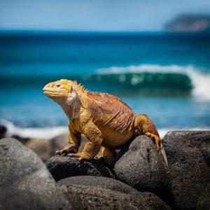 galapagos iguana on rock